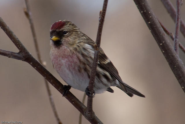 common_redpoll_20080113_DSC07958