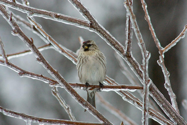 common_redpoll_20080308_01109_nn