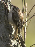 DSC04108_Brown_Creeper