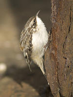 DSC04118_Brown_Creeper