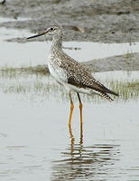 Greater_Yellowlegs_8_19_06_2