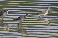 greater_yellowlegs_20070908_06564
