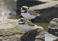 DSC06398_semipalmated_plover