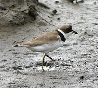 Semipalmated_Plover_8_19_06_3
