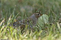 white_crowned_sparrow_20071013_06842