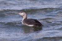 red_throated_loon_20070408_06101