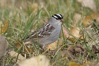 white_crowned_sparrow_20071013_06886