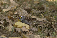 white_throated_sparrow_20071013_06880